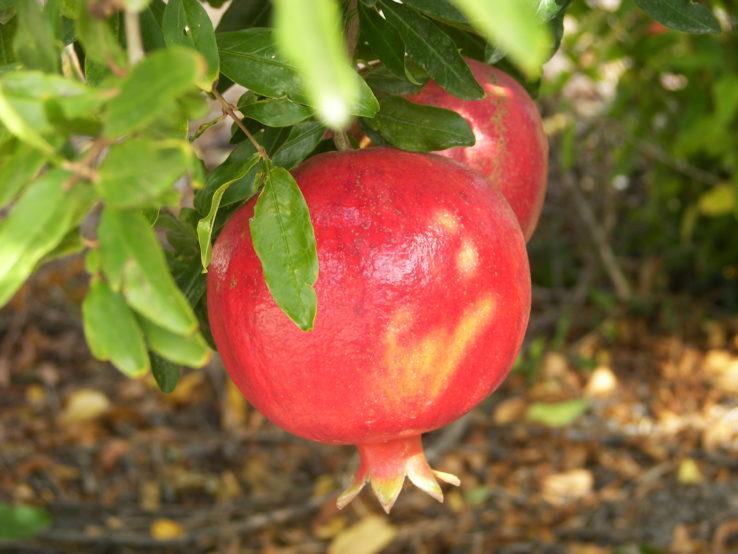 Pomegranates from the mediterranean region