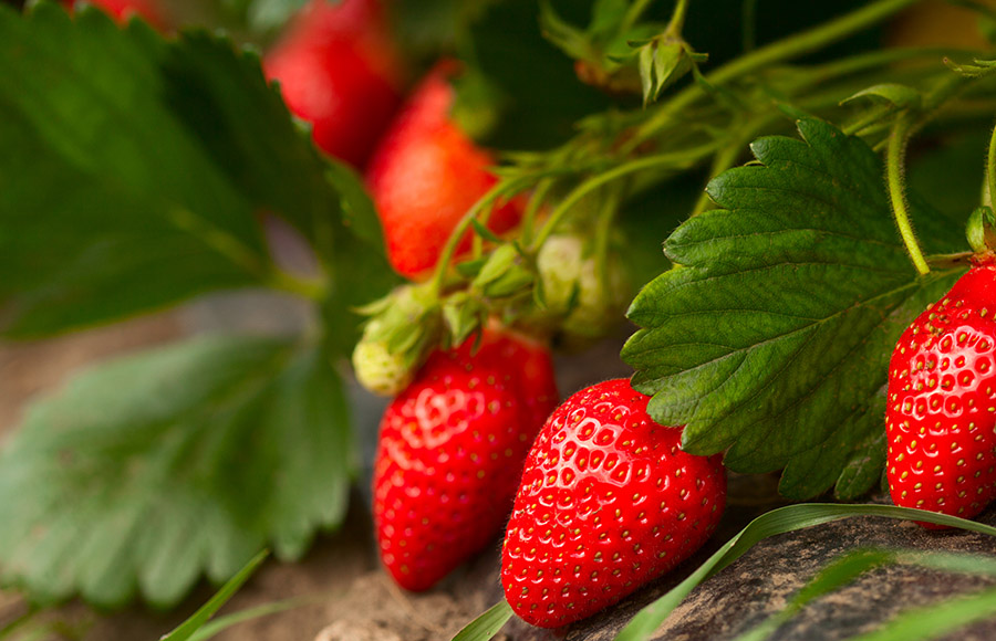 Erdbeeren hängen am Strauch